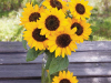 Dwarf-Sunflower-Hella