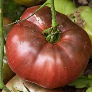 Cherokee Purple's spectacular flavor makes it a great choice for gardeners who love a sweet, juicy tomato!