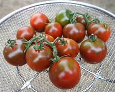 """Dark, 2-3"""" fruit weigh 2-3 oz and have a full-bodied meaty taste. Not a true black tomato, but very dark red with chocolate shoulders. Fruit ripens in clusters of 4 or 5 and can be harvested by snipping the cluster stem."""