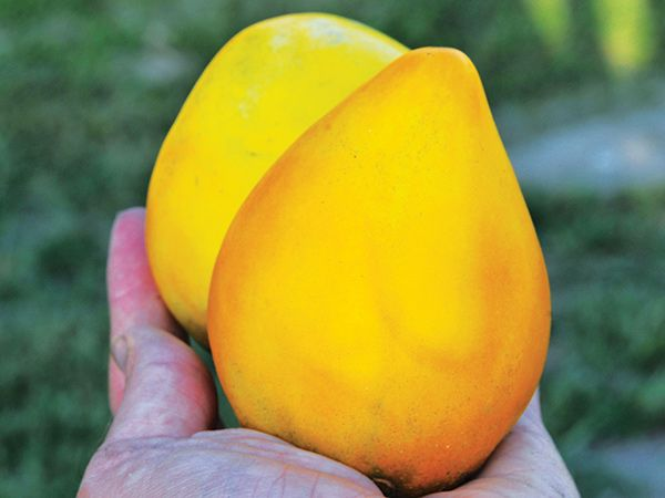 golden-king-of-siberia Golden King of Siberia Big, lemon-yellow fruit is a delightful heart shape. The flesh is smooth, creamy and has a nicely balanced sweet taste. New to us this year.