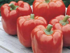 Red Knight is a jumbo sweet bell with thick walls. It starts out green and ripens to red.