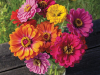 County-Fair-Blend-Zinnia